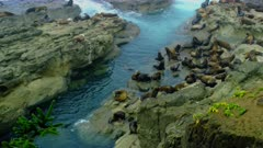 Sea lions swimming and resting on rocks at Coos Bay