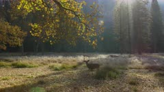 Deer grazing in meadow covered with morning frost in Yosemite valley