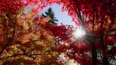 Sun shining through Japanese Maple in Fall colors