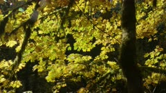 Maple tree with leaves in Fall colors