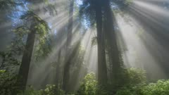 Sunbeams shining through Redwood trees in Redwood National and State Park