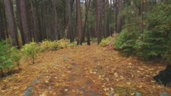 Steadicam walking in Fall forest