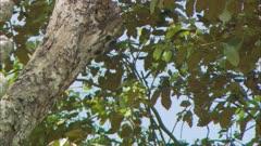 Acorn Woodpecker Feeding Chicks