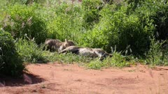 cheetah (Acinonyx jubatus) with cubs