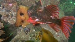 Lumpsucker, Cyclopterus lumpus,