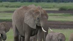 Elephant herd crossing grassland