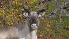 Telephoto close-up portrait of a reindeer lying down to rest against a background with autumn colors. Location: Stora Sjofallet National Park in Lapland, northern Sweden (Scandinavia).