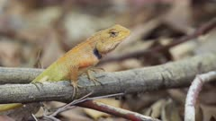 Close-up view of a colorful yellow and orange forest lizard (garden lizard agama) in Mai Khao, southern Thailand.