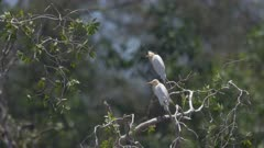 Cattle egrets sitting in a tree in Mai Khao, Phuket, Thailand, Southeast Asia.