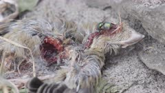 A small dead bird is being decomposed by a blow fly and other insects.
