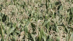 Close-up telephoto shot of a dry corn field in southern Sweden, after an unusually hot and dry summer, destroying large parts of the crops in Skane County.