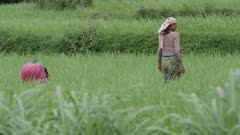 Nepal - August 3, 2015: Women in traditional dress in rice field