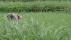 Nepal - August 3, 2015: Woman in rice field