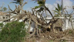 Uprooted trees from the aftermath of a tropical storm