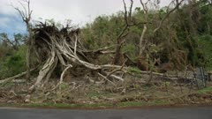 Uprooted tree from the aftermath of a tropical storm
