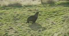 Seal near Waipapa point, Catlins, New Zealand