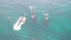 Three humpback whales one sideways breach