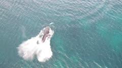 Single humpback whale sideways breaching