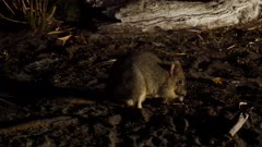 Brush tail bettong (Woylie) foraging at night