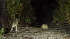 Western grey kangaroo, southern brown bandicoot and brush tail bettong
