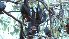 Spectacled Flying Foxes - male and female with young dispute