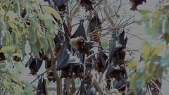 Spectacled Flying Foxes - roosting, fanning in the heat