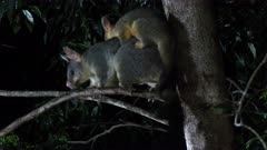 Brush-tailed Possums Australia