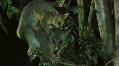 Brushtail Possum with baby