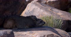 A close up shot of a mother Dassie,Rock Hyrax, Procavia capensis barking as she sees the camera and her cute tiny baby snuggling in her neck.