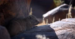 Close up shot of an Adult  Dassie,Rock Hyrax, Procavia capensis acting dead, staying so still on a boulder.