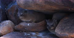 Two adult  Dassie,Rock Hyrax, Procavia capensis tucked away in rocks, one scratching its face with its hind leg.