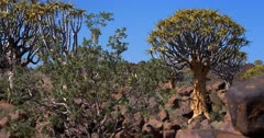 Pan across the Quiver tree forest,Aloe dichotoma