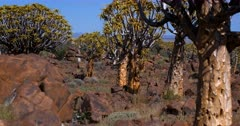 Wide shot with focus in the back ground changing to focus in front across the Quiver tree forest,Aloe dichotoma
