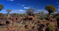 Wide Pan across the Quiver tree forest,Aloe dichotoma growing out of boulders and rocks.