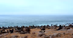 Medium Wide shot of the nursery of Cape Fur seals on the coast and the frolicking seals in the ocean. Note how many juveniles there are.