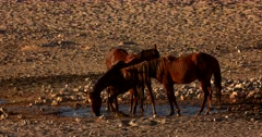 Three skinny wild Horses drinking,splashing and cooling off in a puddle of water. One horse rubbing its face on the others hind quarters.