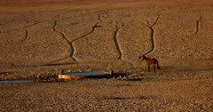 A Wild Horse approaches the man made water hole for a drink. Note the well worn paths on the desert sand.