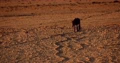 Close up shot of a skinny Wild Horse approaching the camera, walking in a winding well worn path on the orange desert sand.
