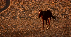 Close up shot of a skinny Wild Horse going to the water hole for a drink.