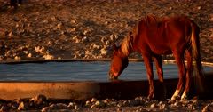 A Wild Horse taking a long drink of water, while another horse enters the frame.