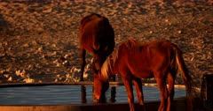 Two skinny Wild Horses with mange on their backs, sipping water in the desert.