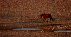 Tracking wide shot of a Wild Horse walking away from the water puddles.