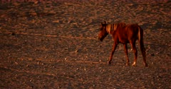 Tracking close up shot,  of a Wild Horse walking away from the water puddles.