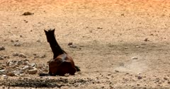 A tired Wild Horse gets up from sitting on  the sand and walks away.
