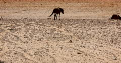 Medium shot of two wild horses walking on the worn desert paths in the heat haze