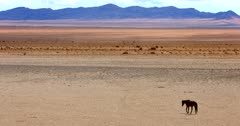 A lone Wild horse walking on the bare Garub Desert.