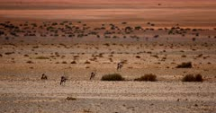 A wide shot of Gemsbok on the orange sands of the Garub desert with the shimmering heat haze of the day.