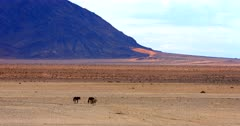 A wide shot of two wild horses and a Gemsbok on their way to the water hole crossing the orange Garub desert.