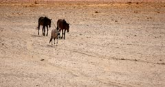 Close up of two wild horses and a Gemsbok on their way to the water hole crossing the orange Garub desert.