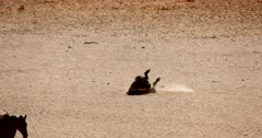 Close up of a Wild Horse  rolling on the desert sand rubbing its back and then standing up.